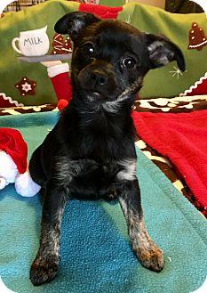 Miniature Pinscher/Jack Russell Terrier Mix Puppy for adoption in Santa Ana, California - Roxy