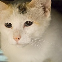 Domestic Shorthair Cat for adoption in Houston, Texas - SNOW TIGER