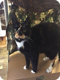 Calico Cat for adoption in Plattekill, New York - Darla