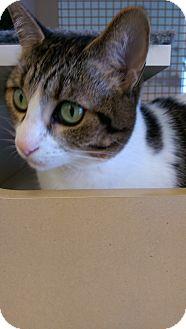 Domestic Shorthair Cat for adoption in Bridgeton, Missouri - Farrah