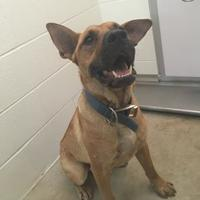 Shepherd (Unknown Type) Mix Dog for adoption in Kirby, Texas - Beau