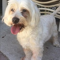 Maltese/Poodle (Miniature) Mix Dog for adoption in Encino, California - Chico