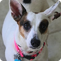 Terrier (Unknown Type, Small) Mix Dog for adoption in Norwalk, Connecticut - Little Bit