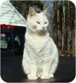 Domestic Shorthair Cat for adoption in Richmond, Virginia - Snowball