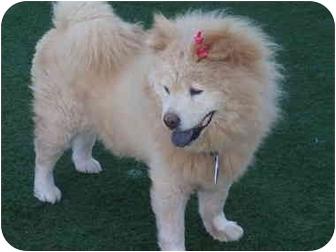 Chow Chow Mix Dog for adoption in Sacramento, California - Mia
