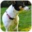 Photo 2 - Rat Terrier Dog for adoption in Portland, Oregon - Lizzie