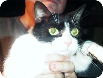 Domestic Shorthair Cat for adoption in Paintsville, Kentucky - Loco