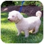 Photo 4 - Bichon Frise Dog for adoption in Oak Ridge, New Jersey - Noodles