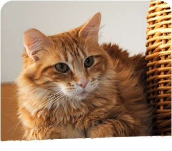 Domestic Mediumhair Cat for adoption in Palmdale, California - Candy