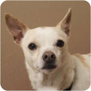 Chihuahua Mix Dog for adoption in Naperville, Illinois - Rico