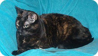 Domestic Shorthair Cat for adoption in Cambridge, Ontario - Shiraz
