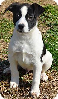 Labrador Retriever/Border Collie Mix Puppy for adoption in Washington, D.C. - Spencer
