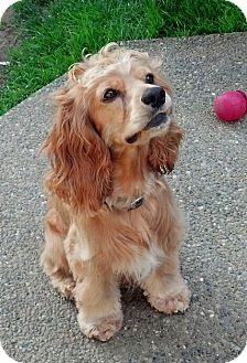 Cocker Spaniel Dog for adoption in Snohomish, Washington - Jack