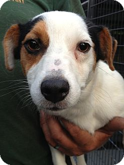 Jack Russell Terrier Mix Dog for adoption in Gainesville, Florida - Shorty