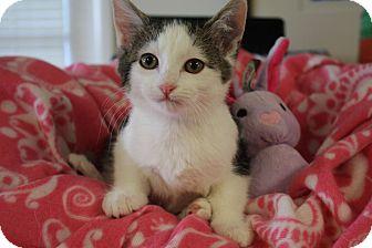 Domestic Shorthair Kitten for adoption in Marietta, Georgia - Saris