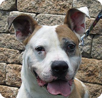 American Bulldog Mix Dog for adoption in Overland Park, Kansas - A059555