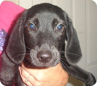 Black and Tan Coonhound/Labrador Retriever Mix Puppy for adoption in Old Bridge, New Jersey - Wasabi