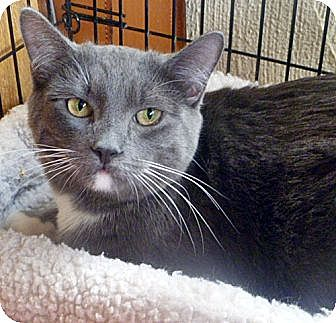Domestic Shorthair Cat for adoption in Santa Fe, New Mexico - ShiLynn