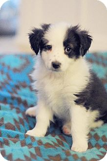 Border Collie/Australian Shepherd Mix Puppy for adoption in Chattanooga, Tennessee - Poppy