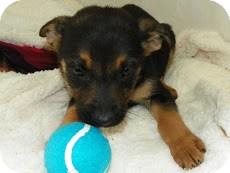 German Shepherd Dog Mix Puppy for adoption in Waldorf, Maryland - Felix