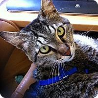 Adopt A Pet :: Teddy Bear - San Rafael, CA