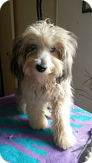 Havanese/Maltese Mix Puppy for adoption in Playa Del Rey, California - Gracie