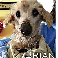 Adopt A Pet :: Brian - Essex Junction, VT
