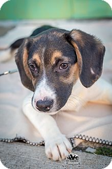 Hound (Unknown Type) Mix Puppy for adoption in Evansville, Indiana - Osmond