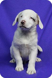 Australian Shepherd Mix Puppy for adoption in Westminster, Colorado - Leo