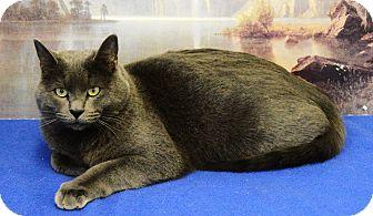 Russian Blue Cat for adoption in Buena Vista, Colorado - Vladimir