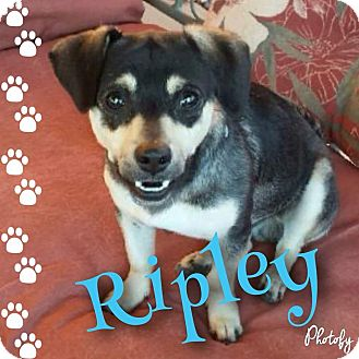 Beagle/Dachshund Mix Dog for adoption in Mesa, Arizona - Ripley