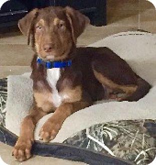 Labrador Retriever Mix Puppy for adoption in Austin, Texas - Baby Billy