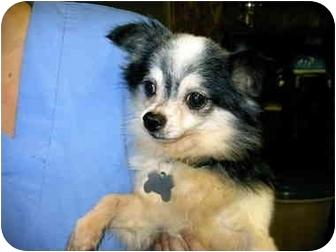 Chihuahua Dog for adoption in Baltimore, Maryland - Ricki
