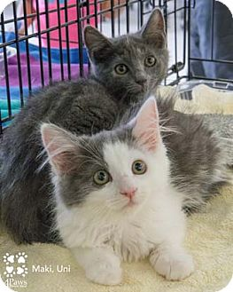 Domestic Shorthair Kitten for adoption in Merrifield, Virginia - Uni