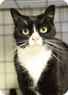 Domestic Shorthair Cat for adoption in Winston-Salem, North Carolina - BB