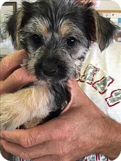 Terrier (Unknown Type, Small)/Poodle (Miniature) Mix Puppy for adoption in Encino, California - Prada - Chanel pup
