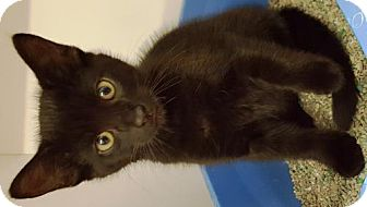 Domestic Mediumhair Kitten for adoption in Crown Point, Indiana - Hocus Pocus