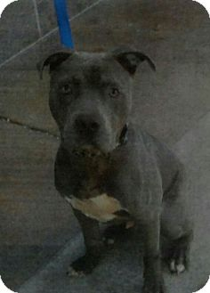 Pit Bull Terrier Dog for adoption in Yuba City, California - Bruno