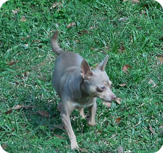 Chihuahua Dog for adoption in Ormond Beach, Florida - BeBe