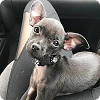 Adopt A Pet :: Olive - Parsippany, NJ
