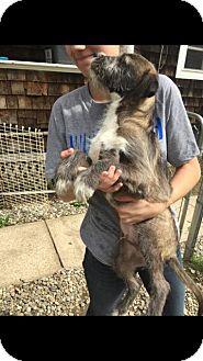Labrador Retriever/Schnauzer (Standard) Mix Puppy for adoption in Danbury, Connecticut - Garfunkle