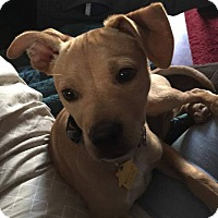 Adopt A Pet :: Reilly - Sinking Spring, PA