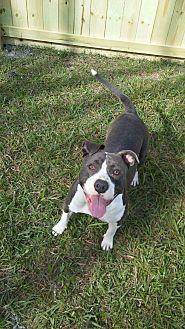 American Staffordshire Terrier/American Bulldog Mix Dog for adoption in Houston, Texas - Kasia