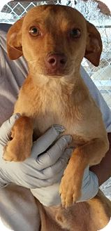 Rat Terrier Mix Puppy for adoption in Las Vegas, Nevada - Riley