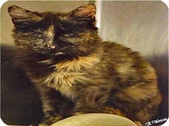 Domestic Mediumhair Cat for adoption in Ogden, Utah - XENA