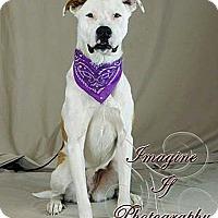 Adopt A Pet :: Faith - Oklahoma City, OK