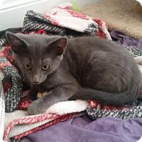 Adopt A Pet :: Bevers - Codorus, PA