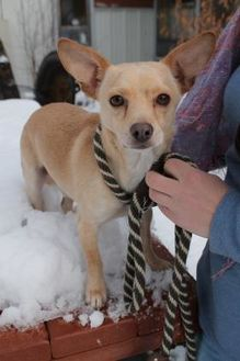Chihuahua Mix Dog for adoption in McCall, Idaho - Larry