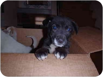 Jack Russell Terrier/Labrador Retriever Mix Puppy for adoption in Bel Air, Maryland - Bella