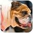 Photo 4 - English Bulldog Dog for adoption in Park Ridge, Illinois - Winnie